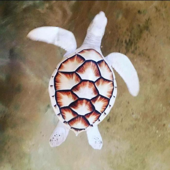 Как выглядит черепаха, если она альбинос