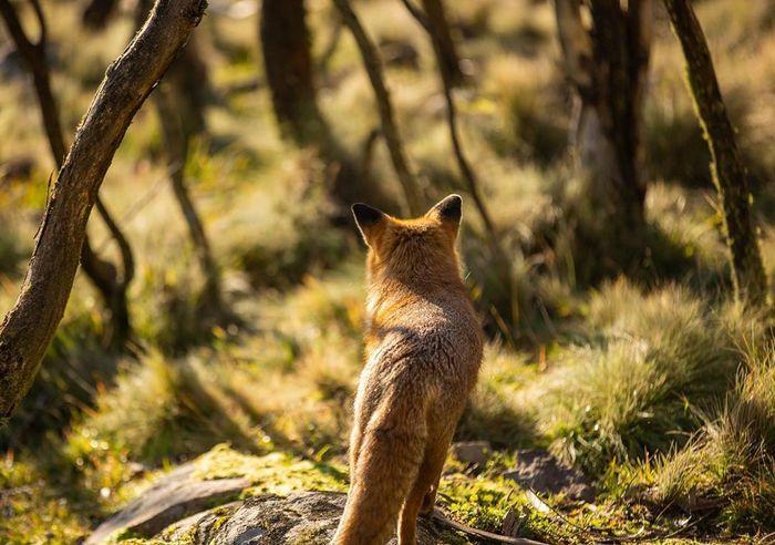 Лиса осматривает свои владения