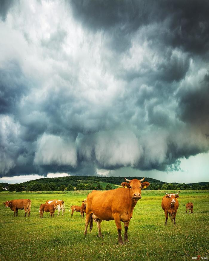Коровы перед бурей (Флорштадт, Германия)