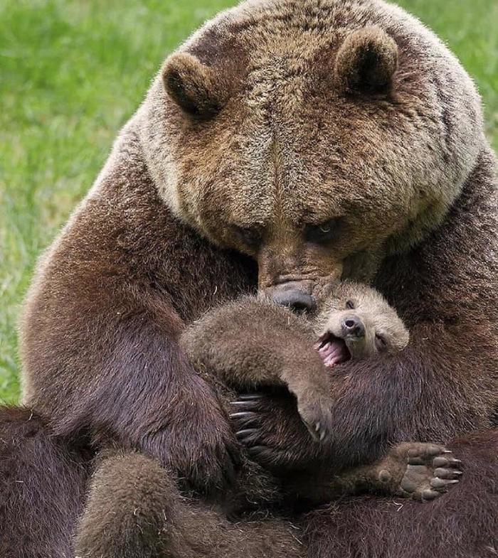 Мама-гризли обнимает своего малыша