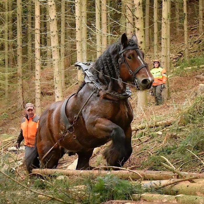Все-таки лошади-тяжеловозы иногда очень даже полезны, а порой незаменимы