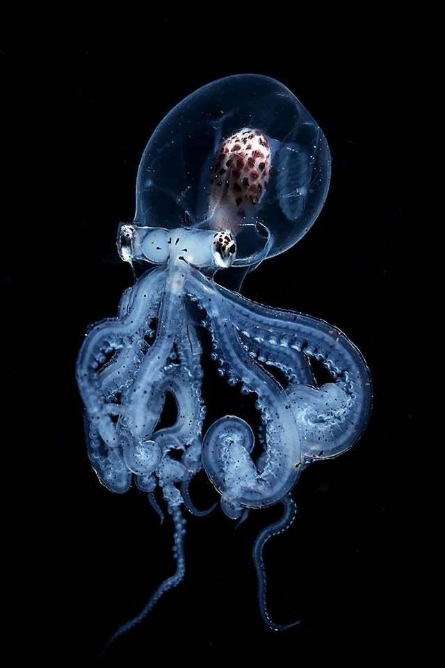 Очень крутой осьминог!