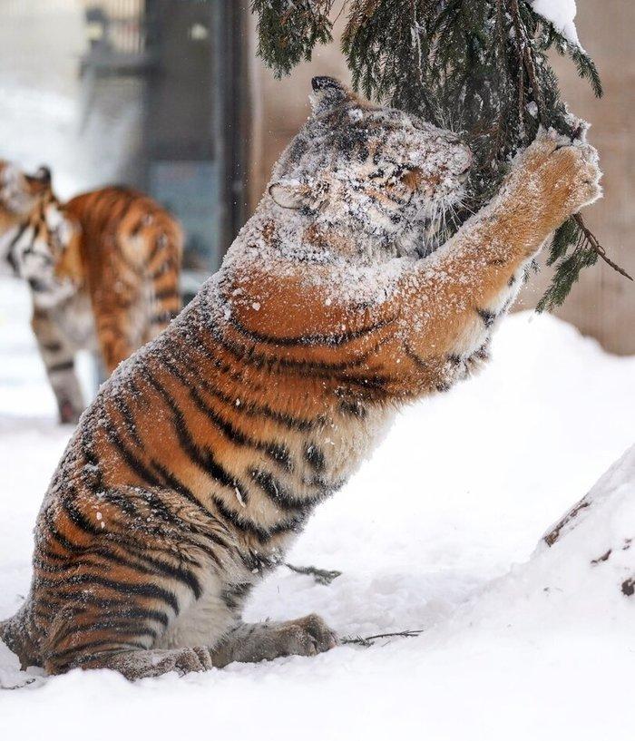 Все коты одинаковы Тигр, Фотография, Длиннопост, Снег, Большие кошки, Дикие животные, Ёлки, Милота, Кусь, Язык
