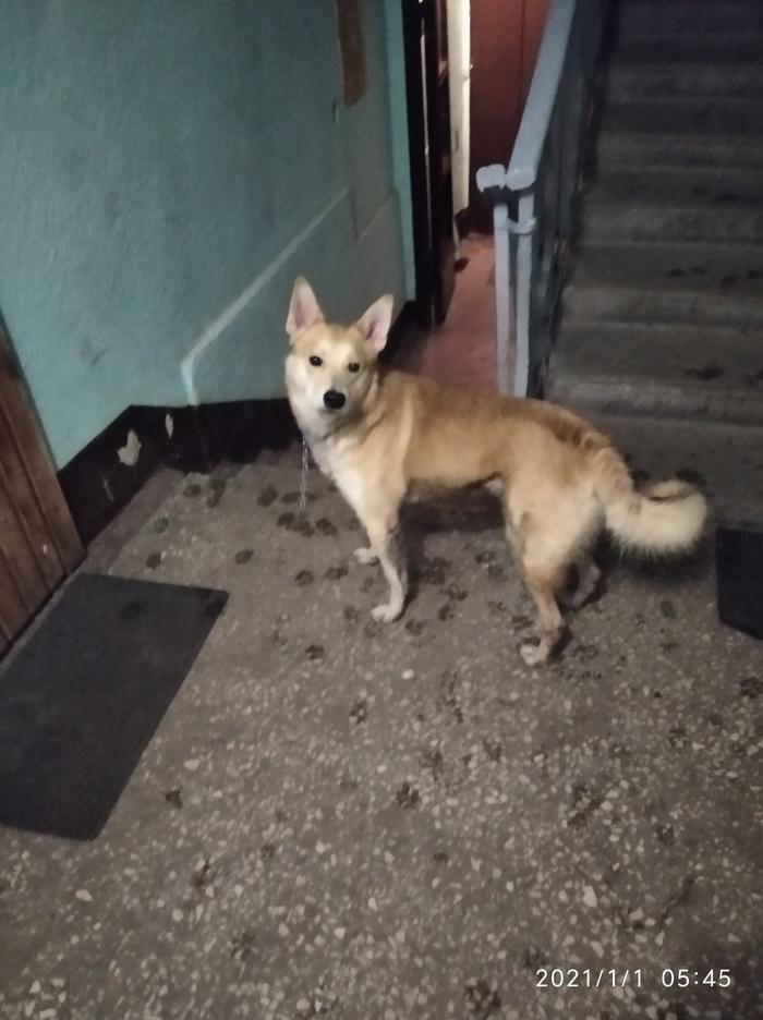 СПБ! Найден пес на обрывке цепи! Держать не смогу, срочно нужно найти хозяев или передержку