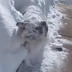 Утро после праздника Собака, Английский бульдог, Снег, Похмелье, Юмор, Гифка