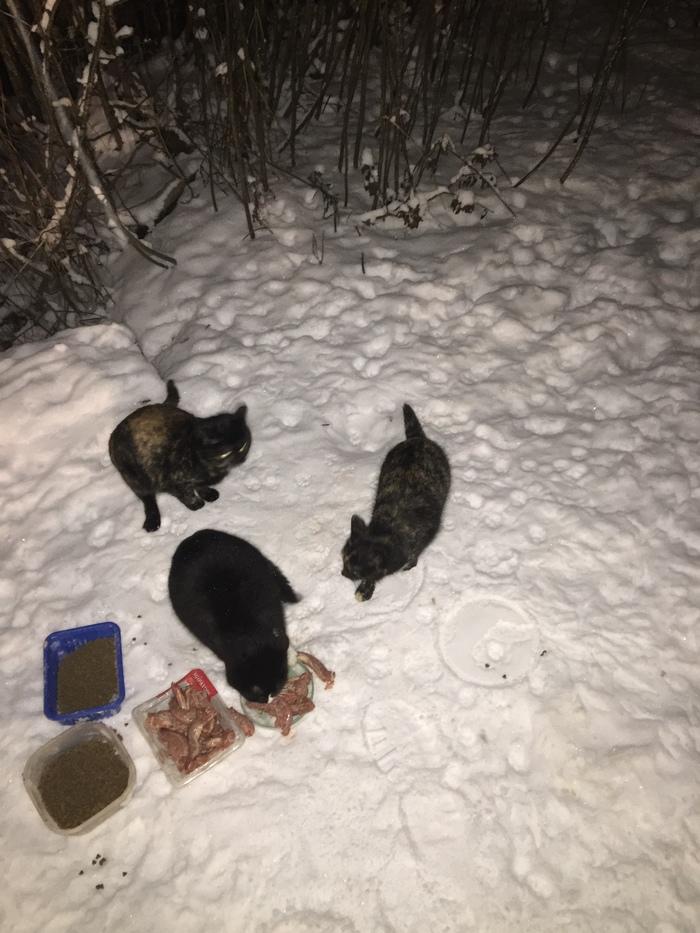Отчёт о кормлении брошенных в садоводстве котеев. 31 января. Температура минус 4. И опять снегопад. До весны 30 дней