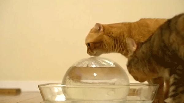 ТОП-6 фактов в кошках. ЧАСТЬ 4 Кот, Интересное, Факты, Вода, Мурчание, Кастрация, Гифка, Длиннопост