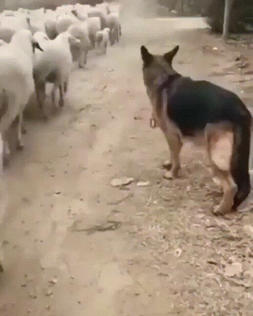 Работа пастушьих собак