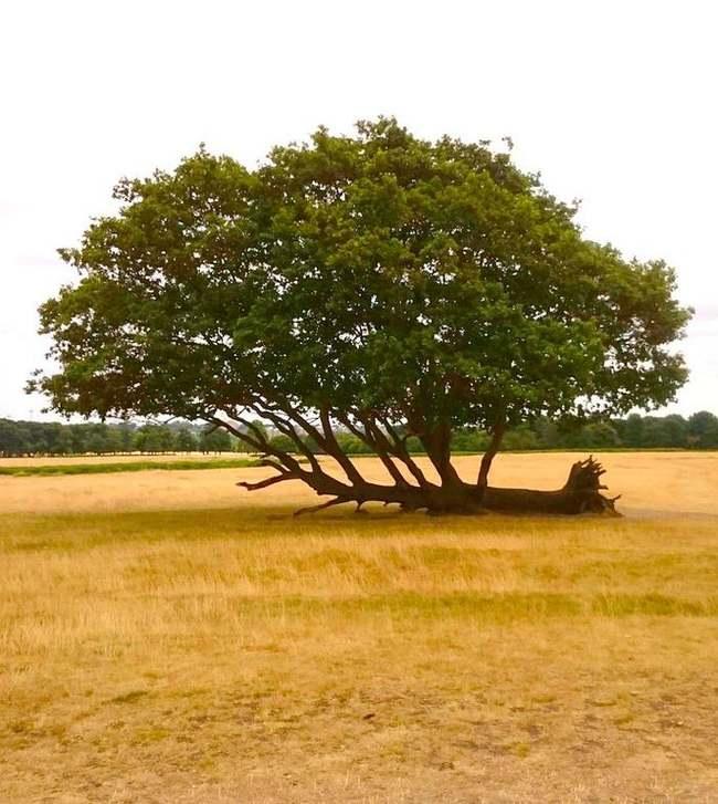 QuotЭто дерево упало, но продолжает растиquot