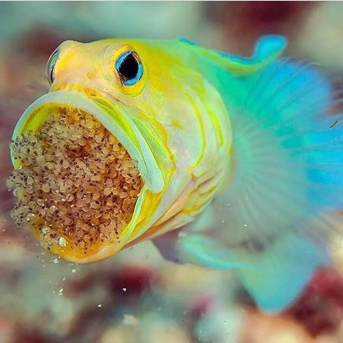 Желтоголовый большерот: Инкубатор мальков в горле. Причём это самец! Природа, Рыба, Интересное, Яндекс Дзен, Книга Животных, Вода, Мальки, Карибы, Икра, Отец, Длиннопост