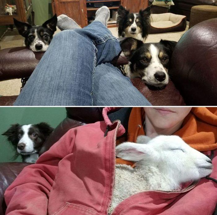 Когда в вашем доме полно пастушьих собак и один замерзший ягненок, которого нужно согреть