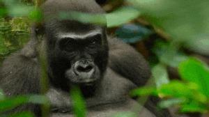 Казалось бы, причем тут гориллы? Google, Горилла, Black lives matter, Новости, Скандал, США, Гифка