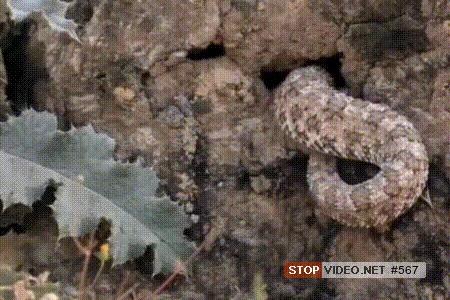 Змея с хвостом в виде «живого» паука. Потрясающий обман для ловли птиц Змея, Паук, Гифка, Длиннопост, Яндекс Дзен, Книга животных