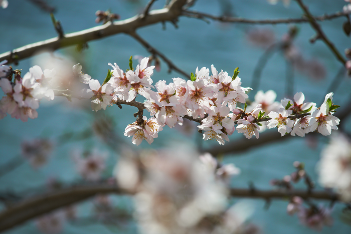 Миндаль цветёт...