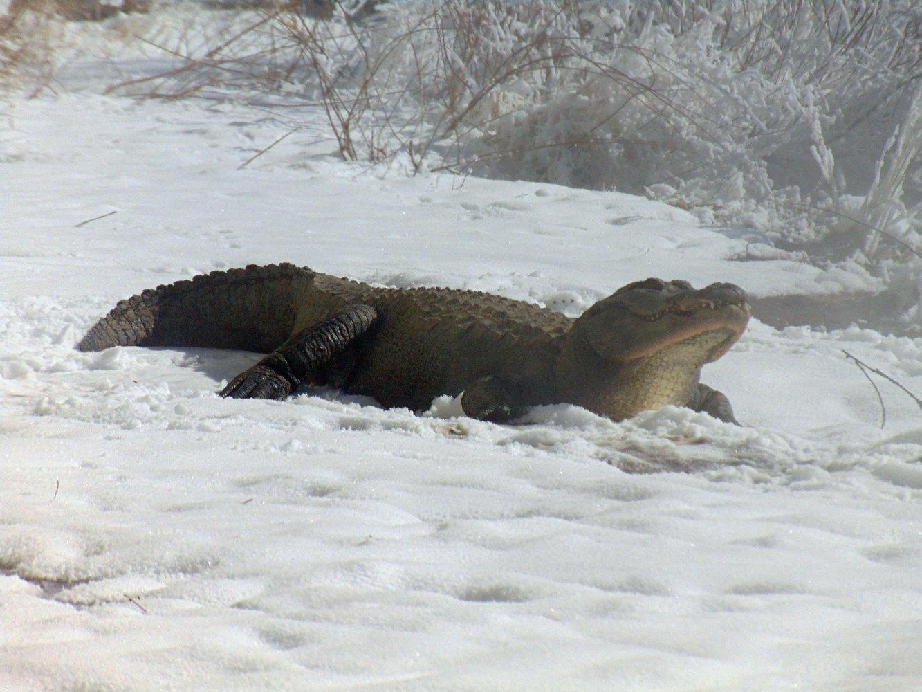 Крокодилы в снегу | Пикабу