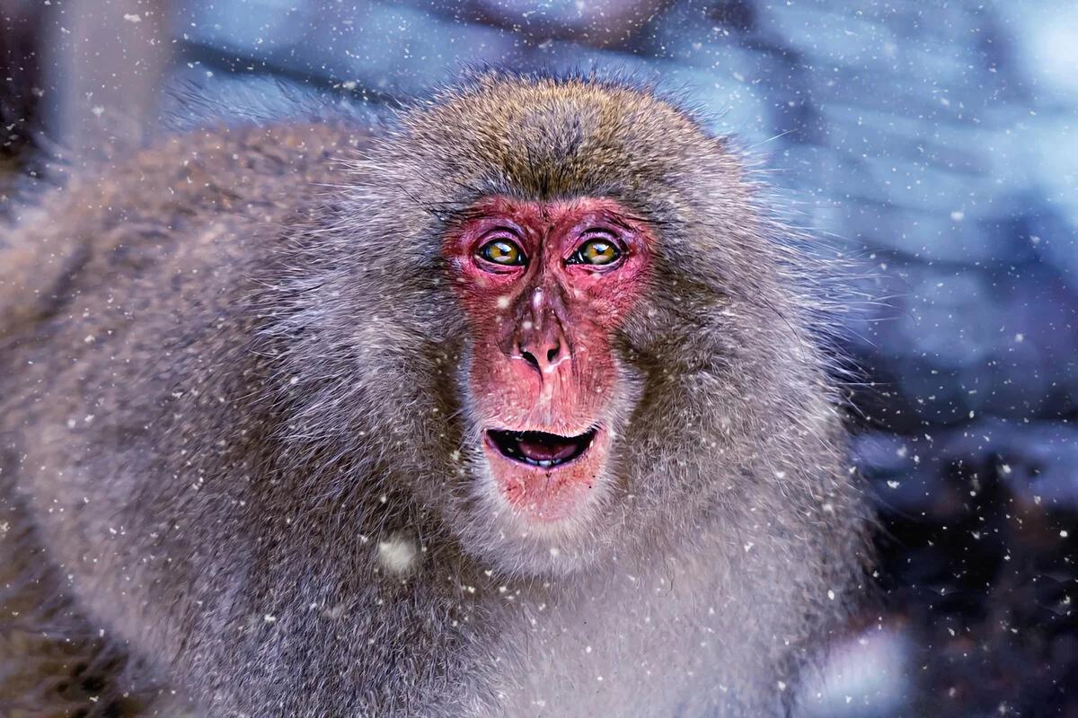 Как живут японские макаки: несколько особенностей из жизни «снежных»  обезьян | Пикабу